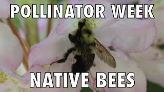 Pollinator Week and Native Bees!