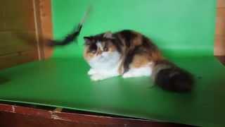 Скарлет - Персидская кошка