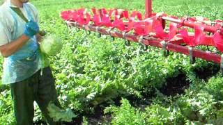Salad Harvesting 2005. Merrymac Farm England