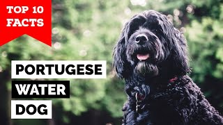 Portuguese Water Dog  Top 10 Facts