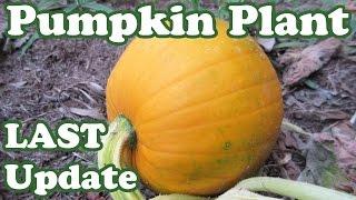 Last Update Growing Giant Pumpkin Seeds Plant -Grow Pumpkins Plants Backyard Gardening Jazevox Video