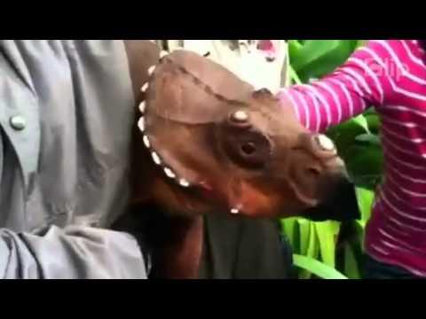 Khủng long ba sừng vẫn chưa tuyệt chủng