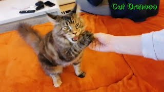 This cat loves to eat, Maine Coon Cat / #funnycatvideos