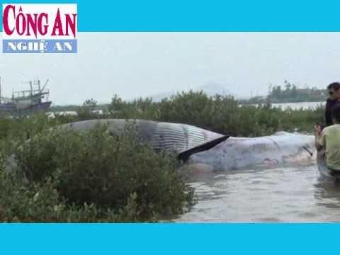 Cá voi khổng lồ dạt vào bờ biển Nghệ An