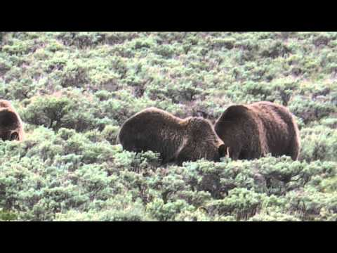 Yellowstone Grizzly Bears & the traffic jam they created
