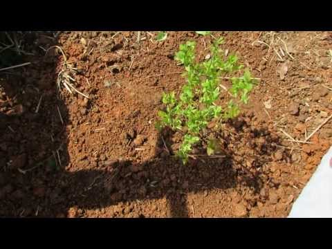 The Basics To Planting Blueberries Acidify The Soil With Peat Moss