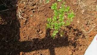 The Basics to Planting Blueberries: Acidify the Soil with Peat Moss - The Rusted Garden 2013
