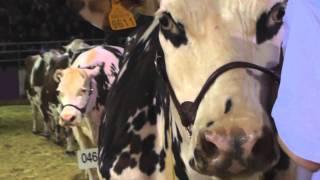 SIA 2013 : Concours général agricole, la race normande en vedette