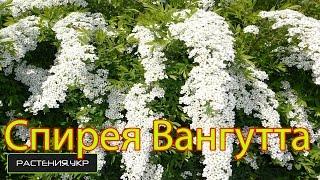 Спирея Вангутта Белая Невеста / садовые цветы