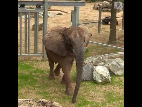 Elephant at Maryland Zoo settles in new home | ABC News