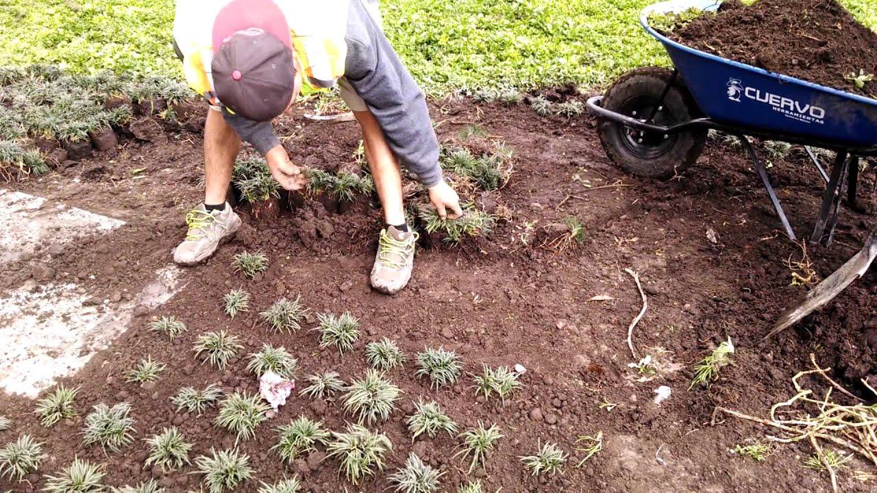 Como sembrar pasto monky siguiendo dise o tresbolillo - Como plantar cesped en el jardin ...