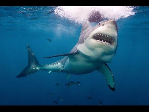 Great White Sharks Chomp On An Underwater Robot