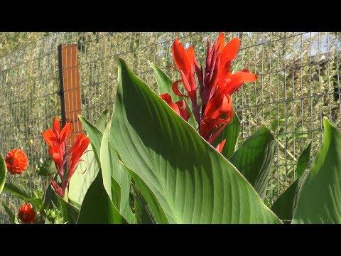 Канны – выращивание и уход в открытом грунте