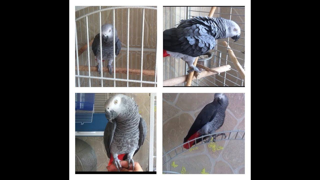 Город москва конголезский длиннокрылый попугай. Цена не указана. Цена без торга, только в хорошие руки. Отдам попугая жако в добрые руки.