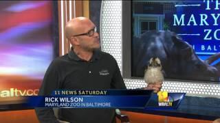 Meet Maryland Zoo in Baltimore's kookaburra