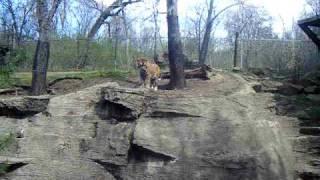 pgh zoo - tiger roaring