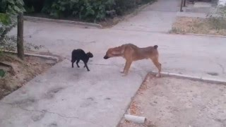 драка кошки и собаки)