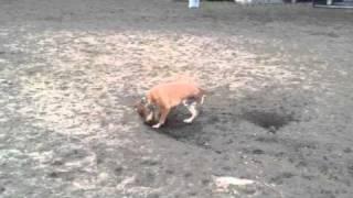 Easter The 3 Legged Dog Digging!!!