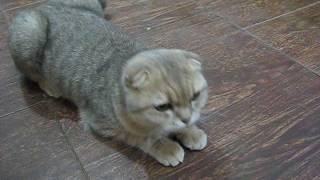 Наша кошка Дуня (скоттиш фолд) загуляла.