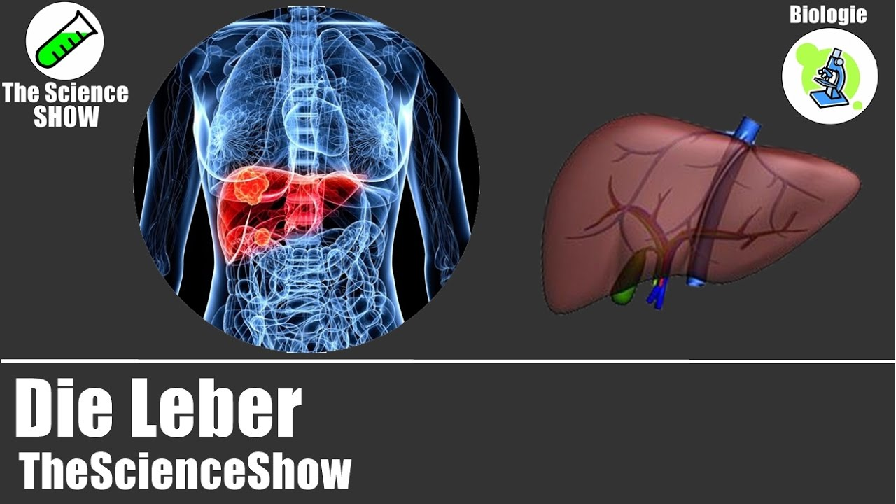 Die Leber   Organe des Menschen   Biologie   TheScienceShow - YouTube