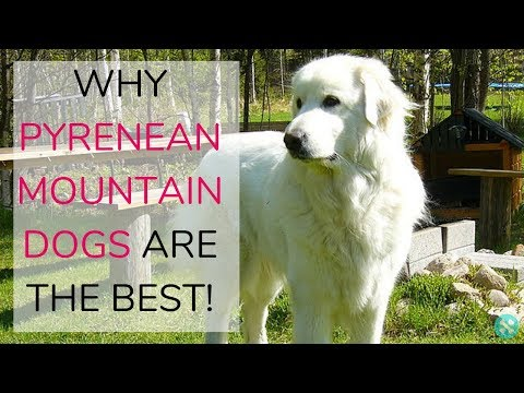 Why Pyrenean Mountain Dogs Are The Best