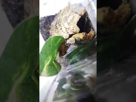 Pterinochilus Murinus Sling Feeding