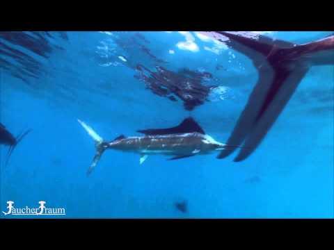 Sailfish Adventure in Isla Mujeres - Segelfische im Baitball - Sondertour von Tauchertraum