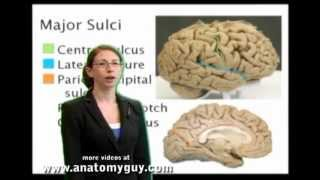 Human Brain : Lobes and Major Fissures of the Human Brain