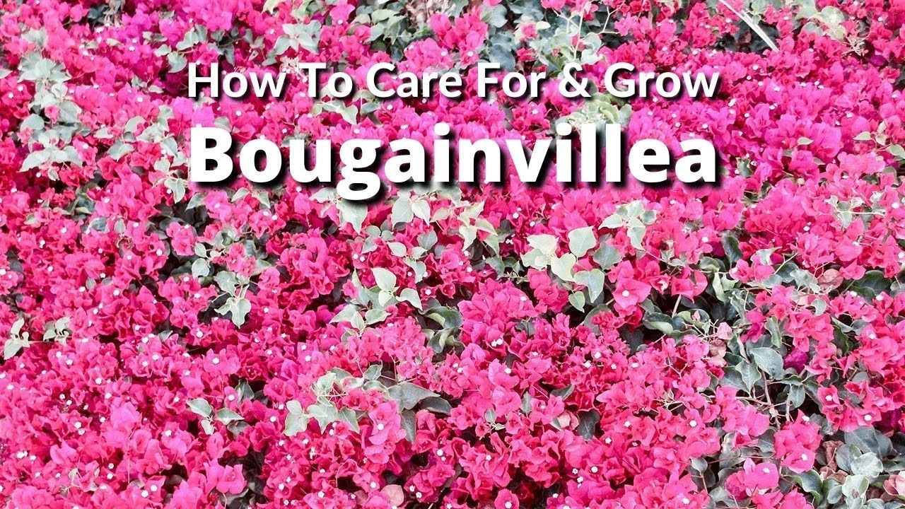 How to care for and grow bougainvillea a flowering machine joy us how to care for and grow bougainvillea a flowering machine joy us garden izmirmasajfo