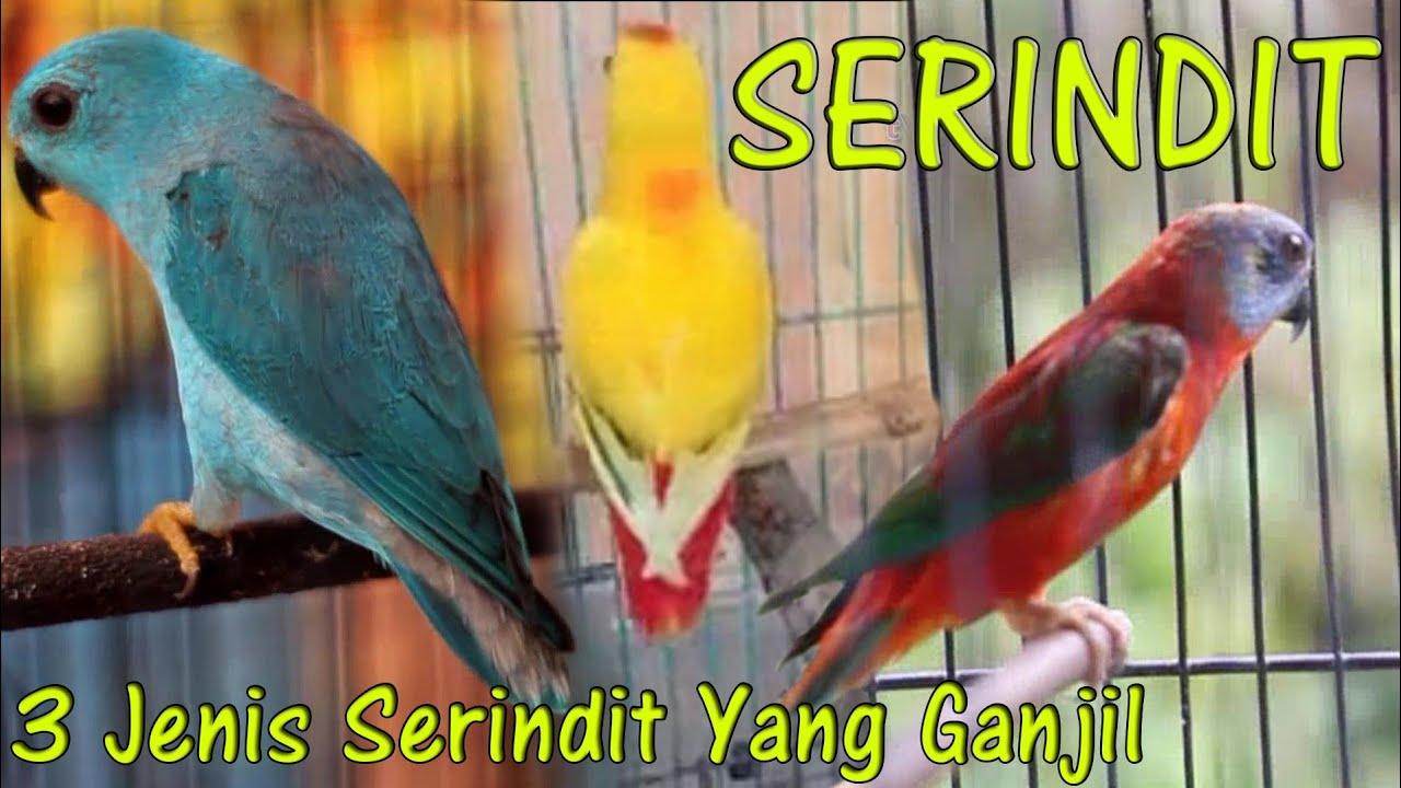 Burung Serindit Yang Ganjil Vlog 062 Youtube