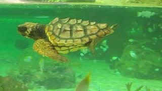 鴨川シーワールド トロピカルアイランド とても綺麗な展示水槽 ウミガメ トビウオ thumbnail
