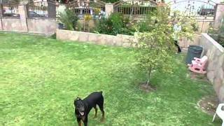 My doberman pinscher in attack mode