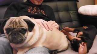 Nes & Stick - Pug Vs Dachshund - Carlin Vs Teckel