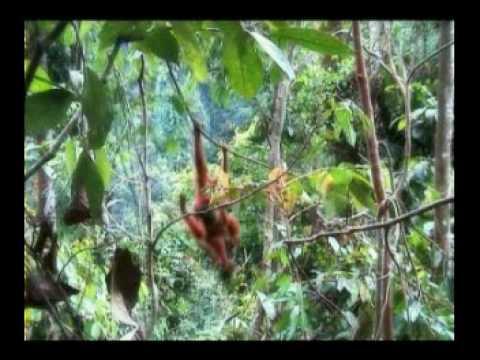 Sumatran Orangutan - Part 1 (Indonesian language)