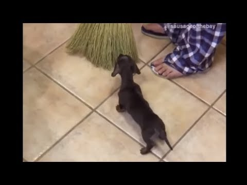 Fearless puppy adorably attacks dreaded broom
