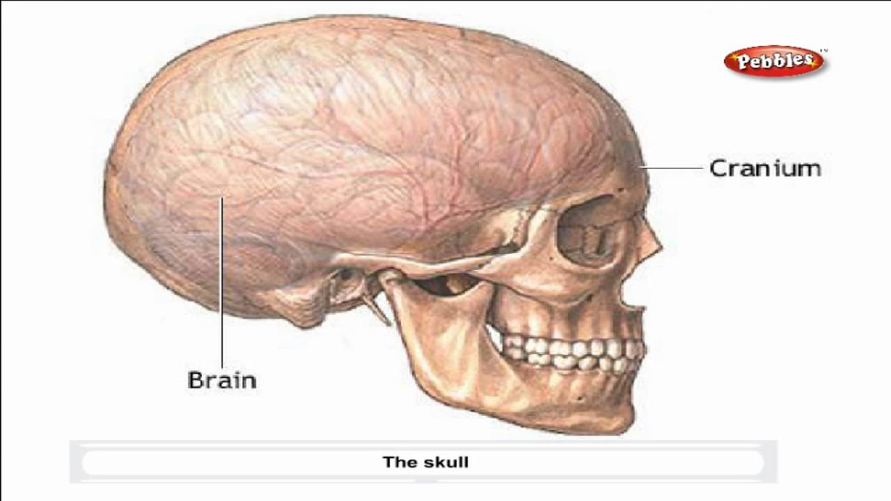 medium resolution of Cbse 5th CBSE SCIENCE   Skeletal System   NCERT   CBSE Syllabus   Animated  Video - YouTube