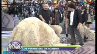 Presentacion de Raza Komondor En programa Justo a Tiempo TV SHOW!
