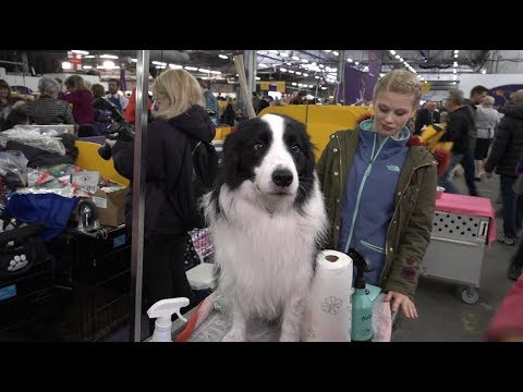 Sky & Trey the Border Collies at the Westminster Kennel Club Dog Show 2018