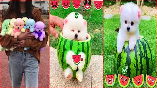 Funny and Cute Dog Pomeranian   Funny Puppy Videos #53