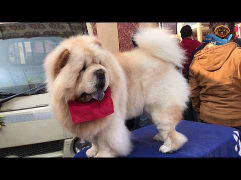 Ambala Kennel Dog show