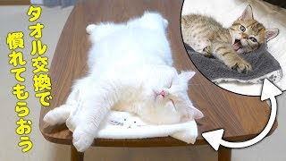 ENG) I swap the resident cat and the new kitten's towels to get used to each other!