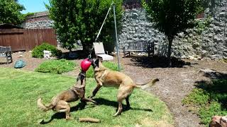 DIY Belgian Malinois proof tether ball tug, Jolly Ball big dog tetherball