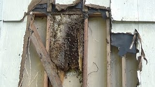 The shed has to go and so do the bees in there, bee rescue.