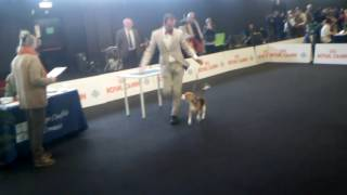 expo internazionale speciale beagle erba 10 dic 2016 giudice Anthon...