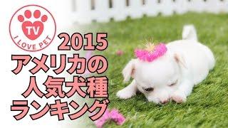 2015アメリカの人気犬種ランキング 日本とは違ちがう! 大型犬が多い 多...