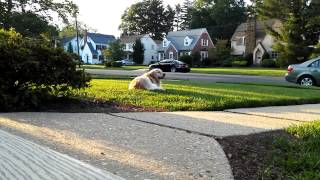 This is tamela, a female golden retriever. Watch her scarf down som...