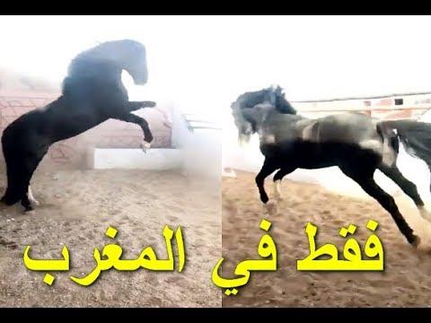 YassinE Tchwika | شاهد هذا الحصان يرقص على ايقاع شعبي المغربي thumbnail