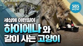 SBS [순간포착 세상에 이런일이] - 하이에나와 고양이의 기막힌 동거 / 'What on Earth!' Ep.1016 review