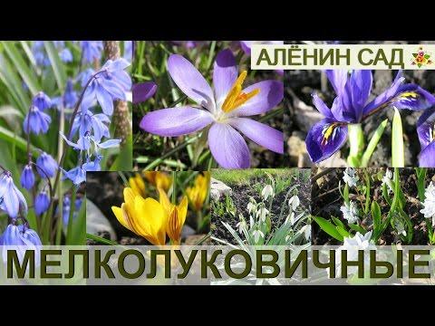 Самые первые цветы! / ВСЁ о мелколуковичных / Крокусы, мускари, сцилла, пушкиния, иридодиктиумы