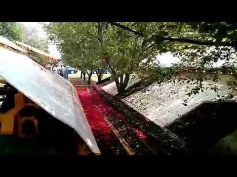 Tart Cherry Harvesting (Tree Shaking) in USA